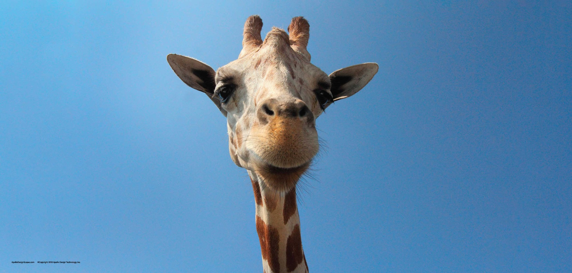 A Portrait of a Giraffe